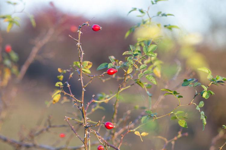 Rosehip twig