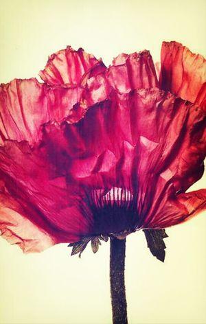 Bavlikizi Flowers Red