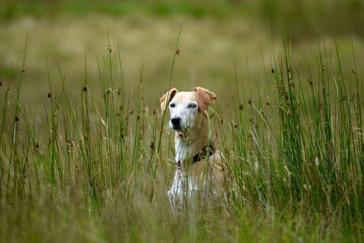 Fitz hiding in the reeds. Beautiful Wales Walking The Dogs Lurcher Mountain Walks Brecon Beacons Brecon Beacons National Park Pet Portraits