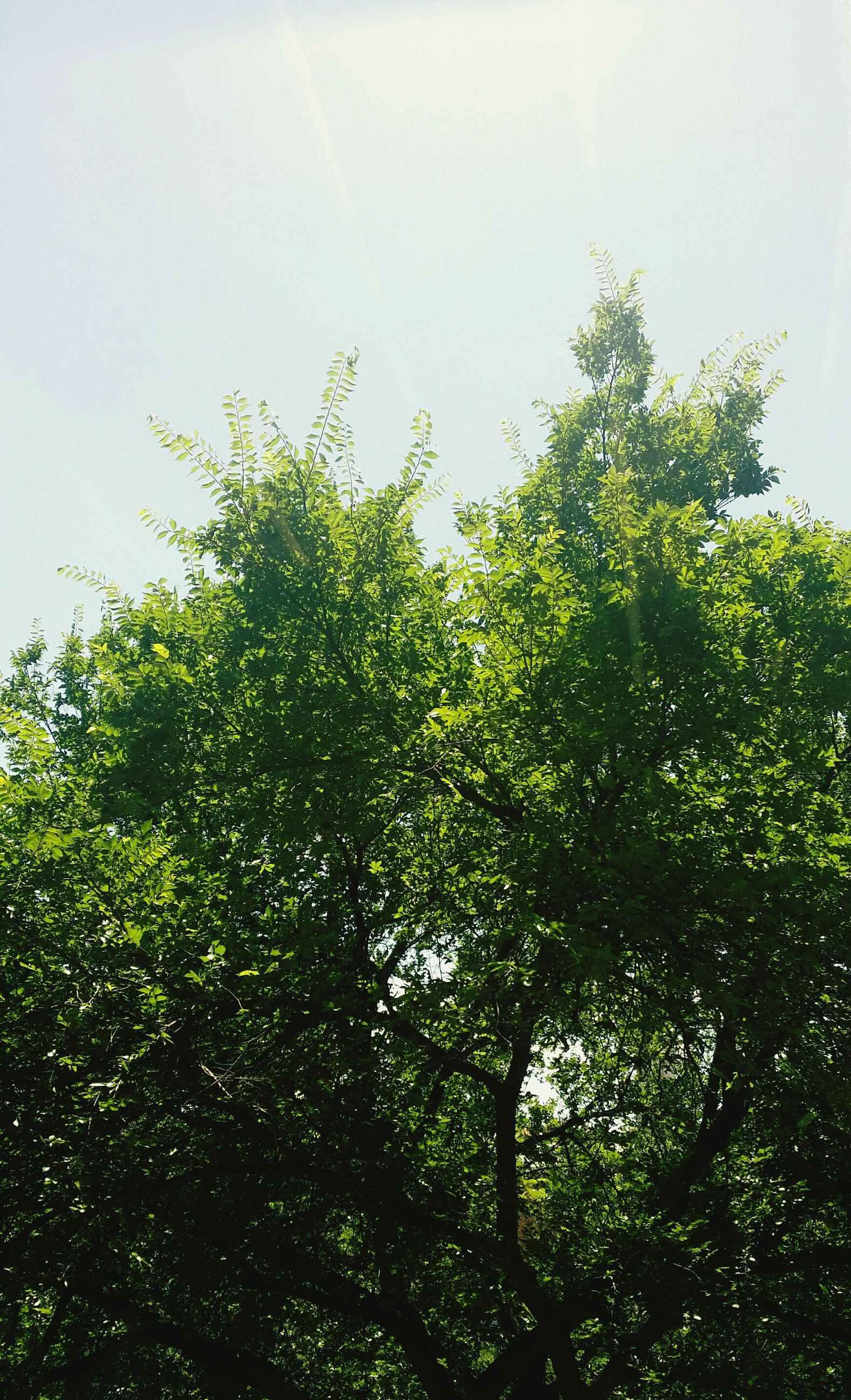 tree, growth, green color, low angle view, nature, clear sky, tranquility, beauty in nature, branch, lush foliage, sky, green, leaf, tranquil scene, day, scenics, outdoors, no people, growing, plant