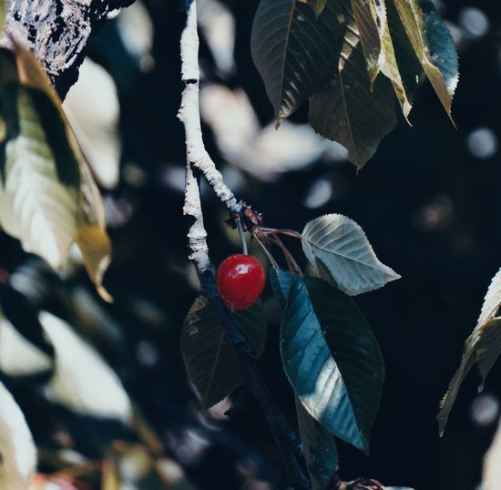 🎈 Fruit Healthy Eating Plant Part Leaf Tree Red Berry Fruit Plant Nature Cherry Focus On Foreground No People Capture Tomorrow Analogue Sound