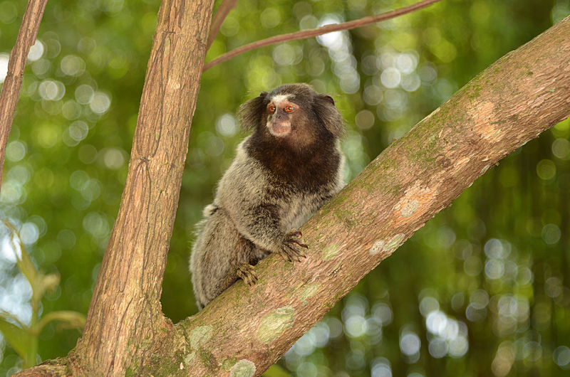 Monkey Mico Lion Tree Portrait Branch Forest Climbing Camouflage Tail Madagascar  Tree Trunk Owl Yellow Eyes Palm Frond Tail Fin Springtime Decadence My Best Photo