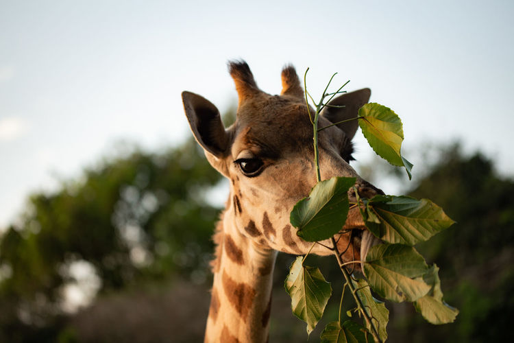 Mammal Animal Animal Themes One Animal Plant Focus On Foreground Animal Wildlife No People Nature Day Animal Body Part Animals In The Wild Close-up Giraffe Vertebrate Portrait Animal Head  Leaf Herbivorous Tree Outdoors Animal Neck My Best Photo Springtime Decadence