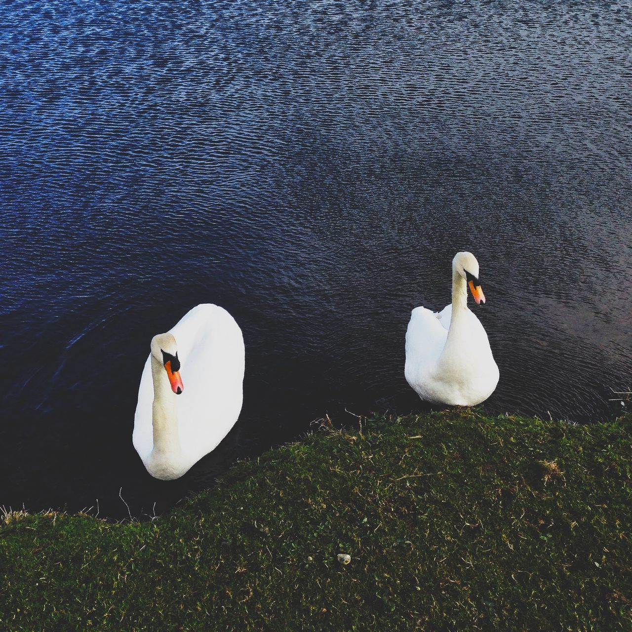 High angle view of two swans in calm water