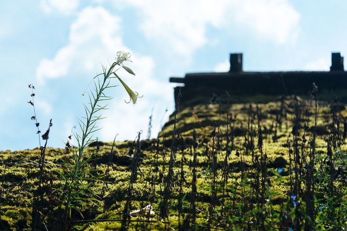 Roof Flowers Plant Roof Top Sky Growth Nature Clouds And Sky Beauty In Nature Japan Photography Fukuchiyama Shinto Shrine September September 2016 Green Fresh Green EyeEm Nature Lover Lily Flower White Flower