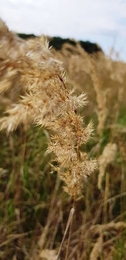 Sky Close-up Plant Landscape Tall Grass Reed - Grass Family