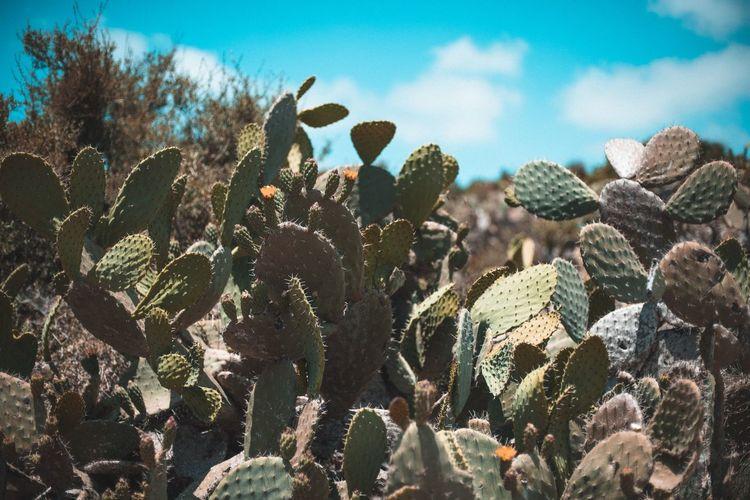 Cactus growing by sea against sky