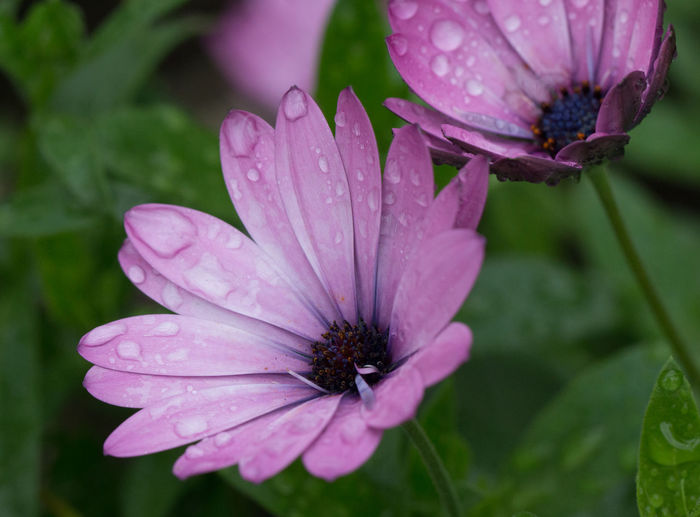 Flowering Plant Flower Petal Freshness Fragility Vulnerability  Beauty In Nature Plant Growth Flower Head Water Inflorescence Close-up Wet Drop Pink Color Nature No People Focus On Foreground Pollen Osteospermum Outdoors Purple Rain Dew