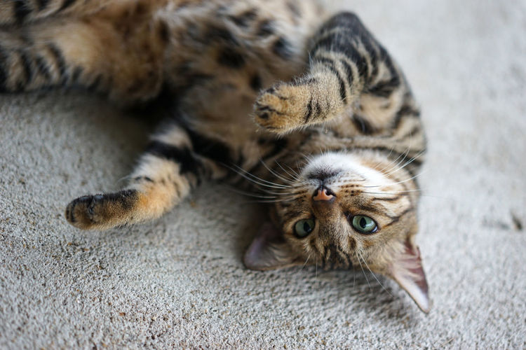 High angle portrait of cat resting on floor