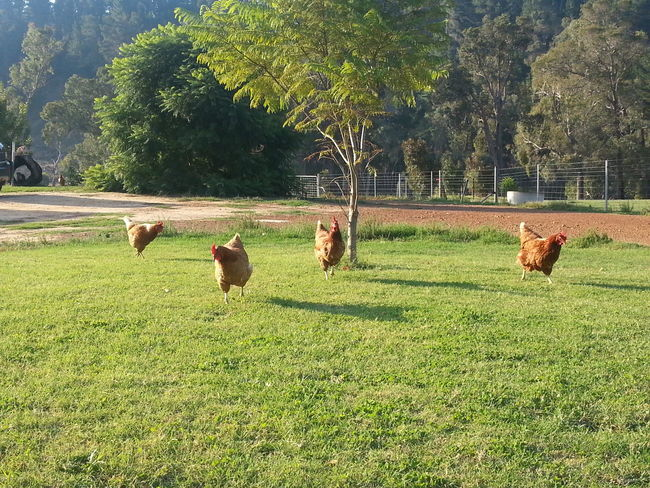 Chooks Farm Life Grass Grassy Grazing Green Trees Happy Hens Isa Brown No People Non-urban Scene Poultry Rural Scene Tranquil Scene