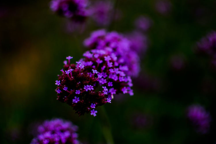 Flower Flowering Plant Fragility Plant Beauty In Nature Vulnerability  Freshness Purple Growth Close-up Focus On Foreground Nature Selective Focus Petal Day Flower Head No People Botany Inflorescence Outdoors Lavender Lilac