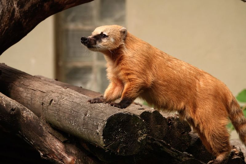 South American Coati Ring-tailed Coati Coati Nasua Nasua Animal Themes Animal Mammal Animal Wildlife Animals In The Wild One Animal Vertebrate Animals In Captivity Day Zoo Wood - Material No People Meerkat Focus On Foreground Looking Outdoors Branch Nature Relaxation Tree