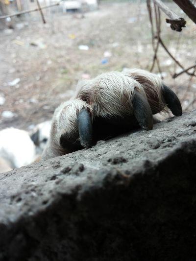 Close-up of sheep sleeping on rock
