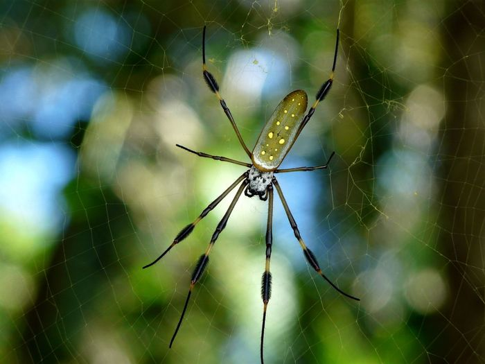 Golden Orb Spider in its web in Cahuita Beach in Costa Rica Animals In The Wild Arachnid Arachnophobia Beauty In Nature Cahuita Carribean Close-up Coast Costa Costa Rica Golden Green Color Insect Macro National Park Nature No People One Animal Orbs Protected Rica Spider Spider Web Web Yellow