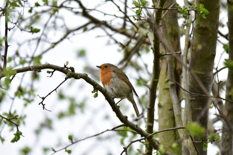 Robin perching on a tree
