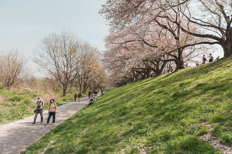 Kyoto, JAPAN - April 3, 2018: People enjoy seeing beautiful blooming cherry blossom at Yawatashi. Plant Tree Grass Nature Group Of People Day Men Walking Beauty In Nature Real People Park Growth Incidental People Adult Women Park - Man Made Space Green Color Full Length Footpath Sky Outdoors Springtime