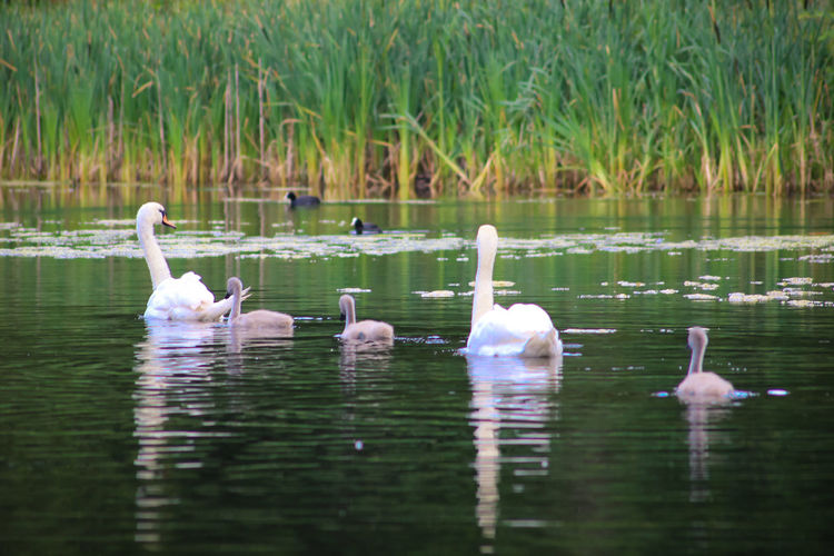 Swans swimming with cygnets in lake