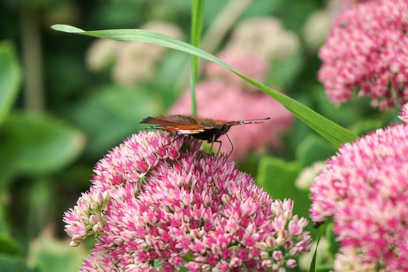 Blume Blumen Frühling Insekten Schaumburg Schmetterling Schmetterlinge - Butterflies Vornhagen Butterfly Butterfly - Insect Flower Flower Head Insect Insekt