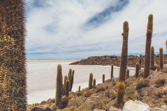 Isla Incahuasi - The Bolivian Salt Flats Cacti Cactus Isla Incahuasi