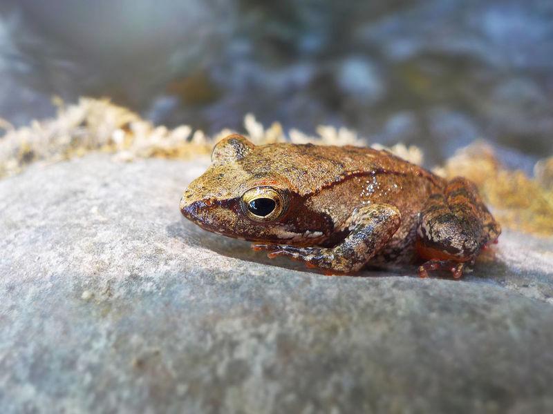 Gold frog Nikon Nikonphotography D7500 Nital River Rocks Amazing Picoftheday Photooftheday Moment Wildlife Photography Photoshoot Reptile Close-up Animal Eye Amphibian Frog