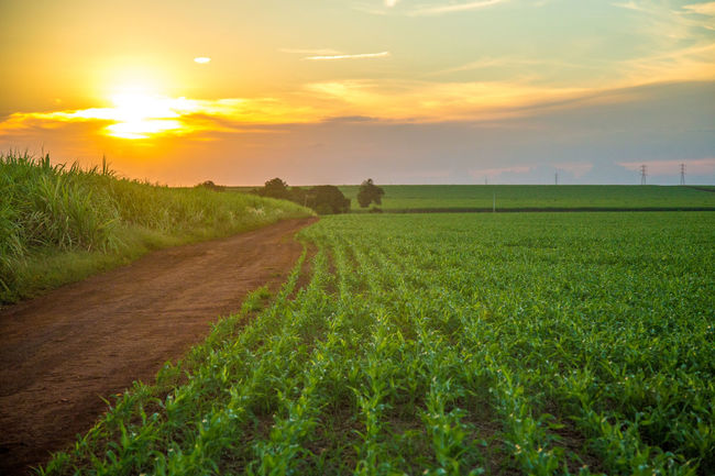 Agriculture Cloud - Sky Crop  Day Farm Field Freshness Grass Green Color Growth Landscape Nature No People Outdoors Rice Paddy Rural Scene Scenics Sky Sorghum Sun Sunlight Sunset Tranquil Scene Tranquility Tree