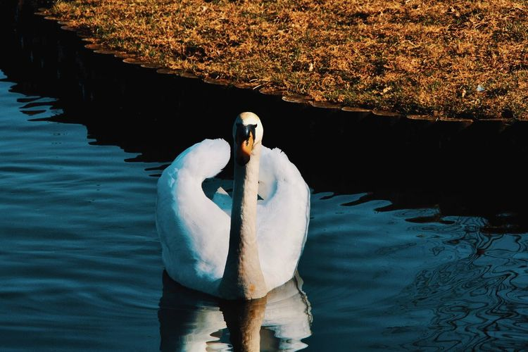 View of swan floating in lake