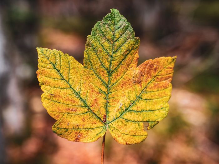 EyeEm Selects Plant Part Leaf Focus On Foreground Close-up Plant Autumn Leaf Vein Nature Change Beauty In Nature Natural Pattern Growth No People Outdoors Yellow Orange Color Tree