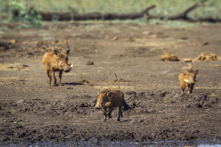 Warthogs running on land