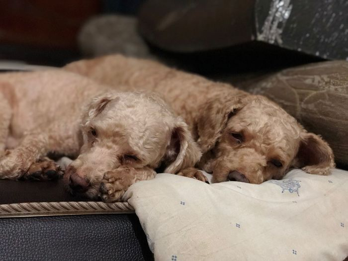 Twin dogs Dog Canine Pets Animal Themes Mammal Domestic One Animal Animal Domestic Animals Relaxation Indoors  Vertebrate Resting No People Sleeping Focus On Foreground Eyes Closed  Home Interior Furniture Lying Down