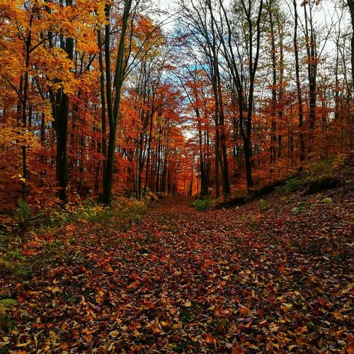 Autumn Leaf Change Nature Tree Forest Scenics Beauty In Nature Tranquility Outdoors Tranquil Scene Day No People WoodLand Growth Landscape Tree Area Sky Perspectives On Nature