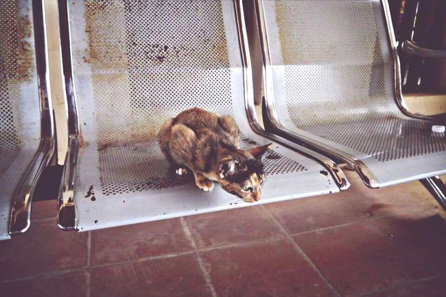 Cambodia Cat