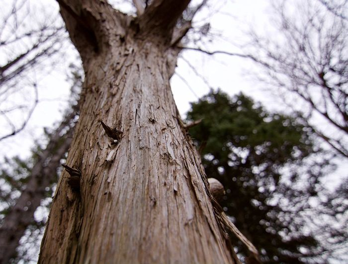Toronto Animal Animal Themes Animal Wildlife Animals In The Wild Bark Branch Close-up Coniferous Tree Day Focus On Foreground Growth Low Angle View Nature No People Outdoors Plant Textured  Tree Tree Trunk Trunk Wood - Material