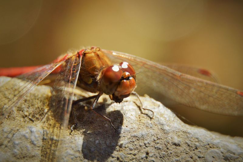 Animal Themes Animal Wing Animals In The Wild Close-up Day Dragonfly Freshness Insect Nature No People One Animal Selective Focus Wildlife Zoology