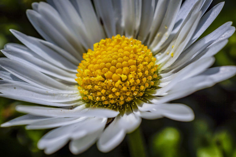 Daisy Flower Beauty In Nature Blooming Close-up Day Flower Flower Head Fragility Freshness Growth Nature No People Outdoors Petal Plant Pollen Yellow