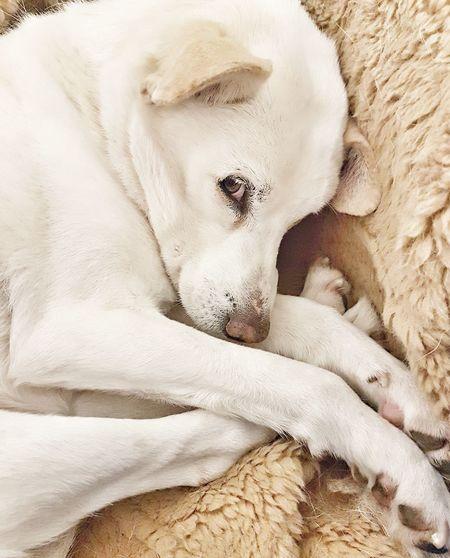 La dolcezza di Achille Cane Dog Mydog Achille Dolcezza Amicomio Bed Textile Textured  White Color Close-up First Eyeem Photo
