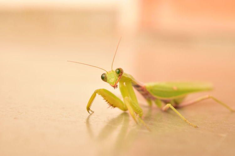 Close-up of praying mantis on floor