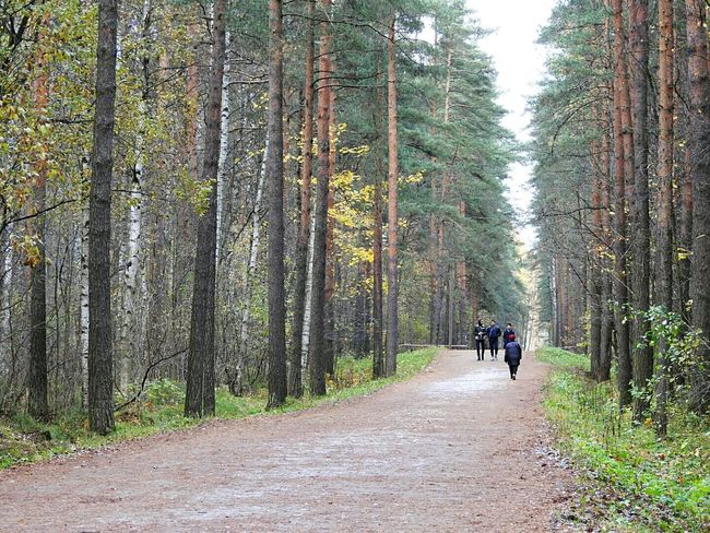 Real People Nature Forest Tree Beauty In Nature Green Color Sosnovka Autumn🍁🍁🍁 Beauty In Nature Colors Of Sankt-Peterburg Sankt-Petersburg Russia