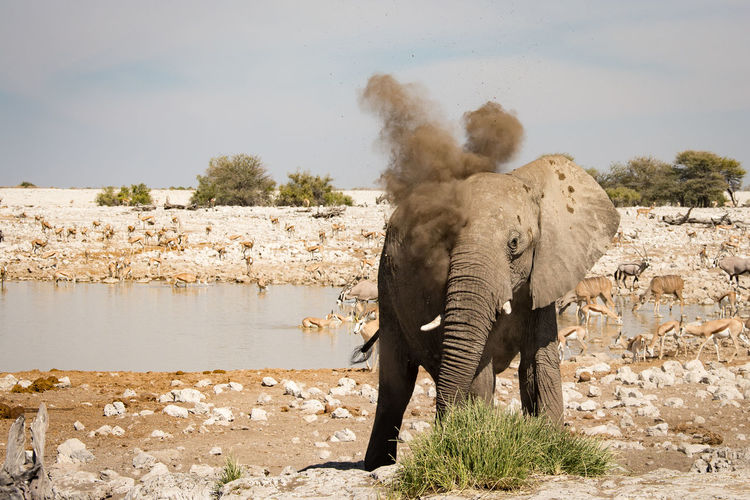 African Elephant Animal Themes Animal Wildlife Animals In The Wild Beauty In Nature Day Dusting Elephant Etosha National Park Landscape Mammal Nature No People Outdoors Safari Animals Sky Standing Water Waterhole
