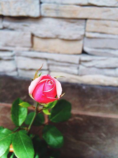 Flores Flowers Rosas <3 Rosas