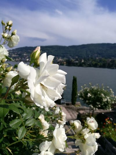 Rose Garden view over Lago Maggiore Formal Garden Historic Garden Historic Gardens Borromean Islands Tourism Italy Visit Italy Visititaly🇮🇹 Visititalia_da_scoprire Visititalia View From The Top Formal Garden Formal Gardens Lago Maggiore, Italy Isola Bella, Lago Maggiore , Italy Postcards From Italy Postcardsfromtheworld Travel Italy Roses Mountains And Lake Mountains And Lakes Flower Head Flower Mountain Springtime Leaf Petal Blossom Tree Scented