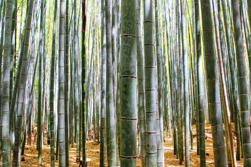 Bamboos In Forest