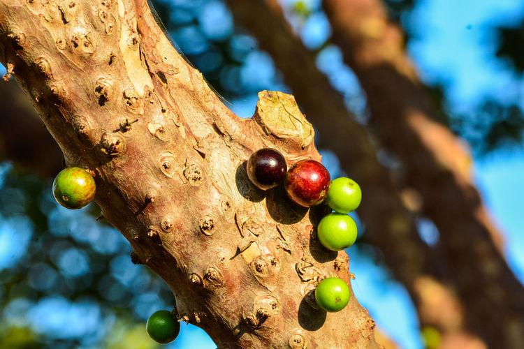 Close-up of blackbarries on tree