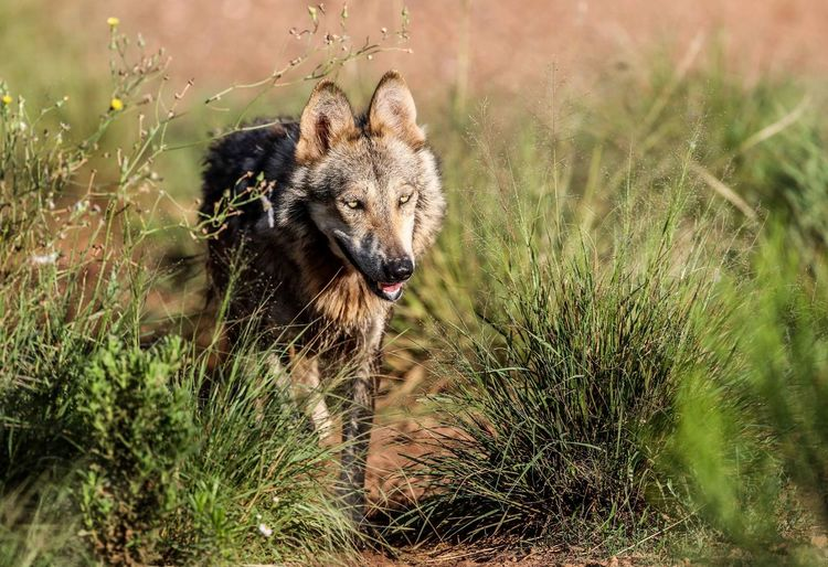 Wolf By Grass On Field