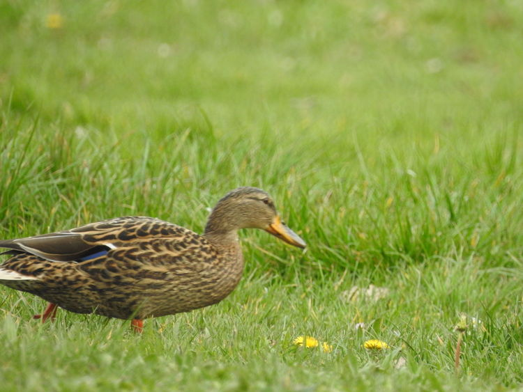 Animal Themes Animals In The Wild Beak Bird Canne Day Duck Field Focus On Foreground Full Length Grass Grassy Green Color Hello World Mallard Duck Nature No People One Animal Outdoors Side View Walking Wildlife