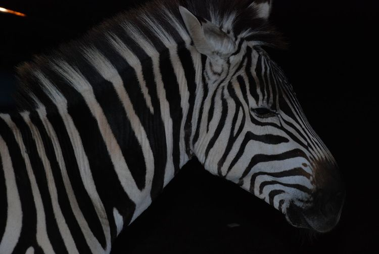 I can relate, in a field full of people and feeling alone, isolated, mused over. Farm Exotic Zebra No People Mammal Close-up Safari Animals Outdoors Animal Markings Nature Day