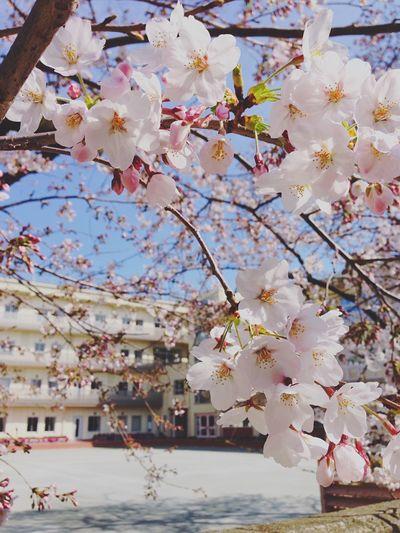 さくらの季節。別れと出会いの季節。 Sakura Cherry Blossoms Cherryblossom Sky Skyporn