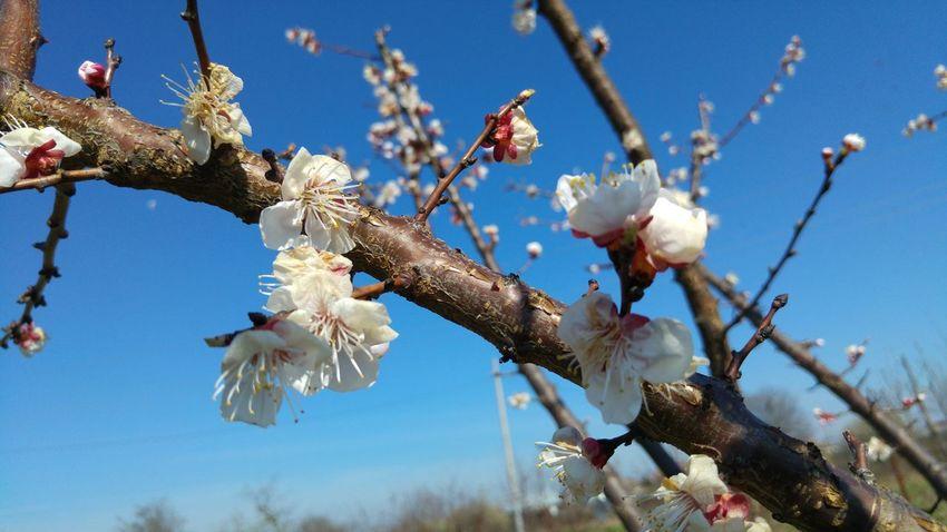 Apricot Flowers Spring Spring Flowers Springtime