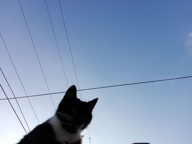 Cat Uppon Blue Sky Wire Wires Blue Sky Ionita Veronica Photography Cat Pets Sky Silhouette Power Cable