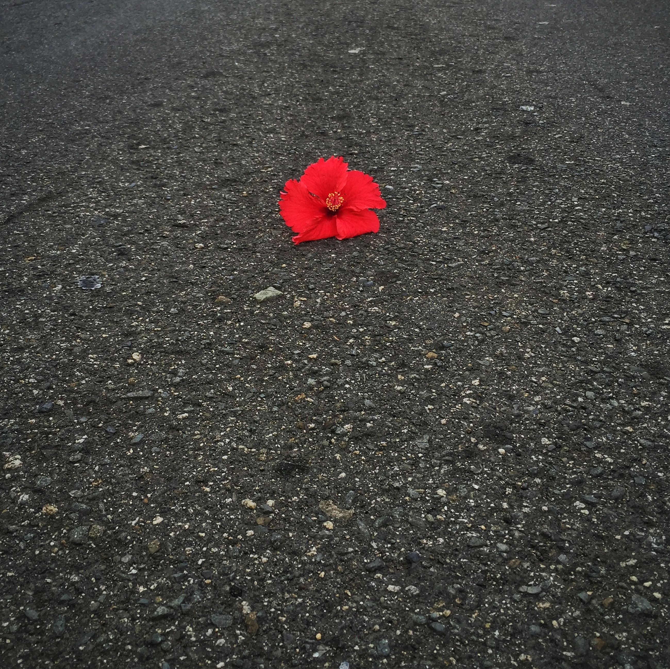 asphalt, high angle view, road, street, red, transportation, road marking, outdoors, nature, day, flower, leaf, no people, season, fragility, close-up, textured, petal, pink color, beauty in nature