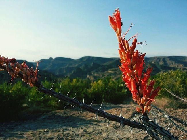 Cactus Flower Cactus Cactusplants Wildlife & Nature Wildlife Photography Wild Flowers Widflower Az Wild Flowers Taking Photos
